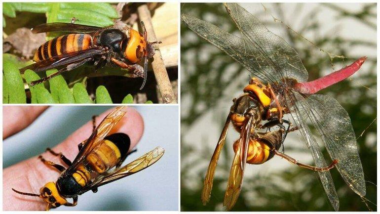 Шершень: чем опасен для человека и можно ли умереть от укуса, описание насекомого и последствия, рекомендации