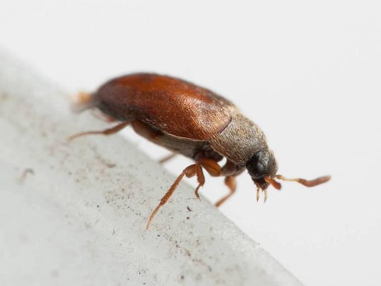 Маленькие коричневые жучки в квартире: причины появления дома мелких букашек, их размножение и питание