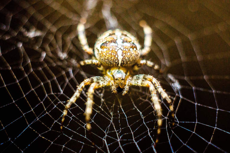 Опасен ли паук-крестовик для человека: где охотится и обитает паукообразное, каковы последствия укуса