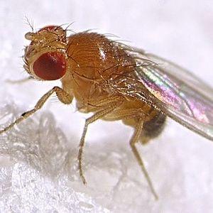 Земляная муха — борьба