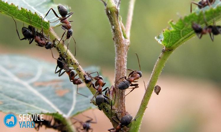 Борная кислота против муравьев; отрава для муравьев из борной кислоты