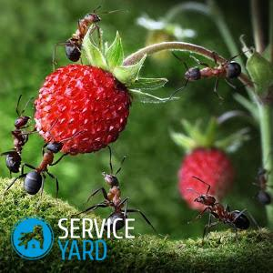Борная кислота против муравьев 🥝 отрава для муравьев из борной кислоты