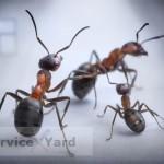 Борная кислота от муравьев в саду