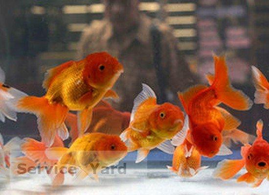 Золотая рыбка в аквариуме - уход