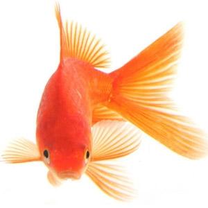 Золотая рыбка в аквариуме — уход