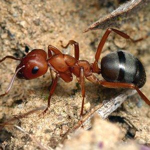 Как избавиться от муравьев в парнике?