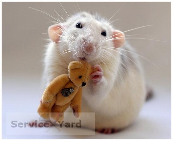 Как в доме поймать крысу с помощью мышеловок и ловушек-