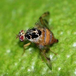 Личинка мухи пчеловидки 🥝 как избавиться, отчего погибают