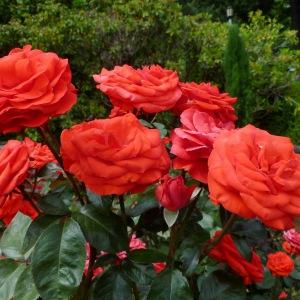 Тля на розах: как бороться? Народные средства и химические препараты