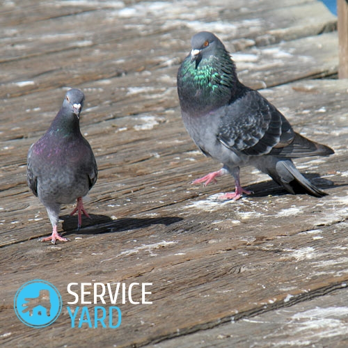 watermarked - rock-pigeon-mating-pair-1a