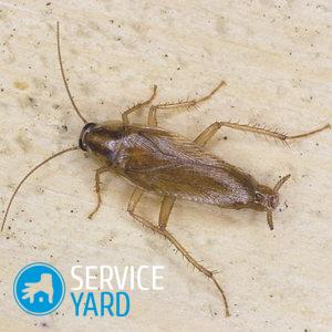 Как травить тараканов борной кислотой?