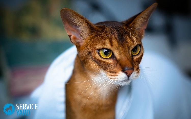 abyssinian-cat-1