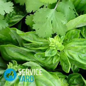 Как хранить зелень в холодильнике?