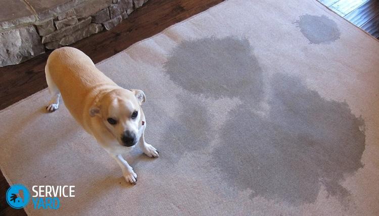 Как избавиться от запаха на ковре от мочи? Уборка в квартире