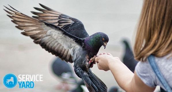 golub-na-cheloveke