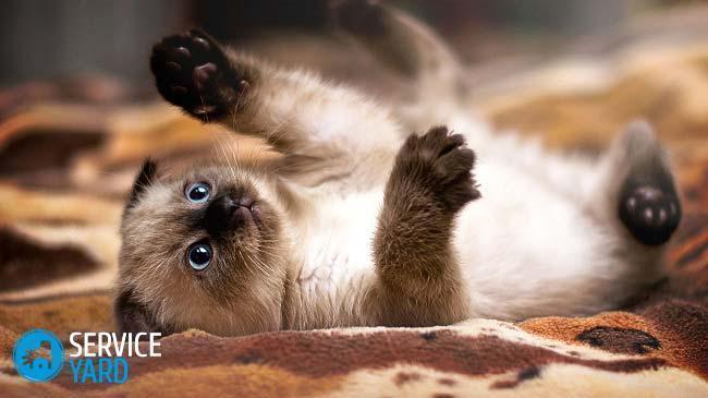 siamese-kitten-jpg-pagespeed-ce-8yjmfs36i