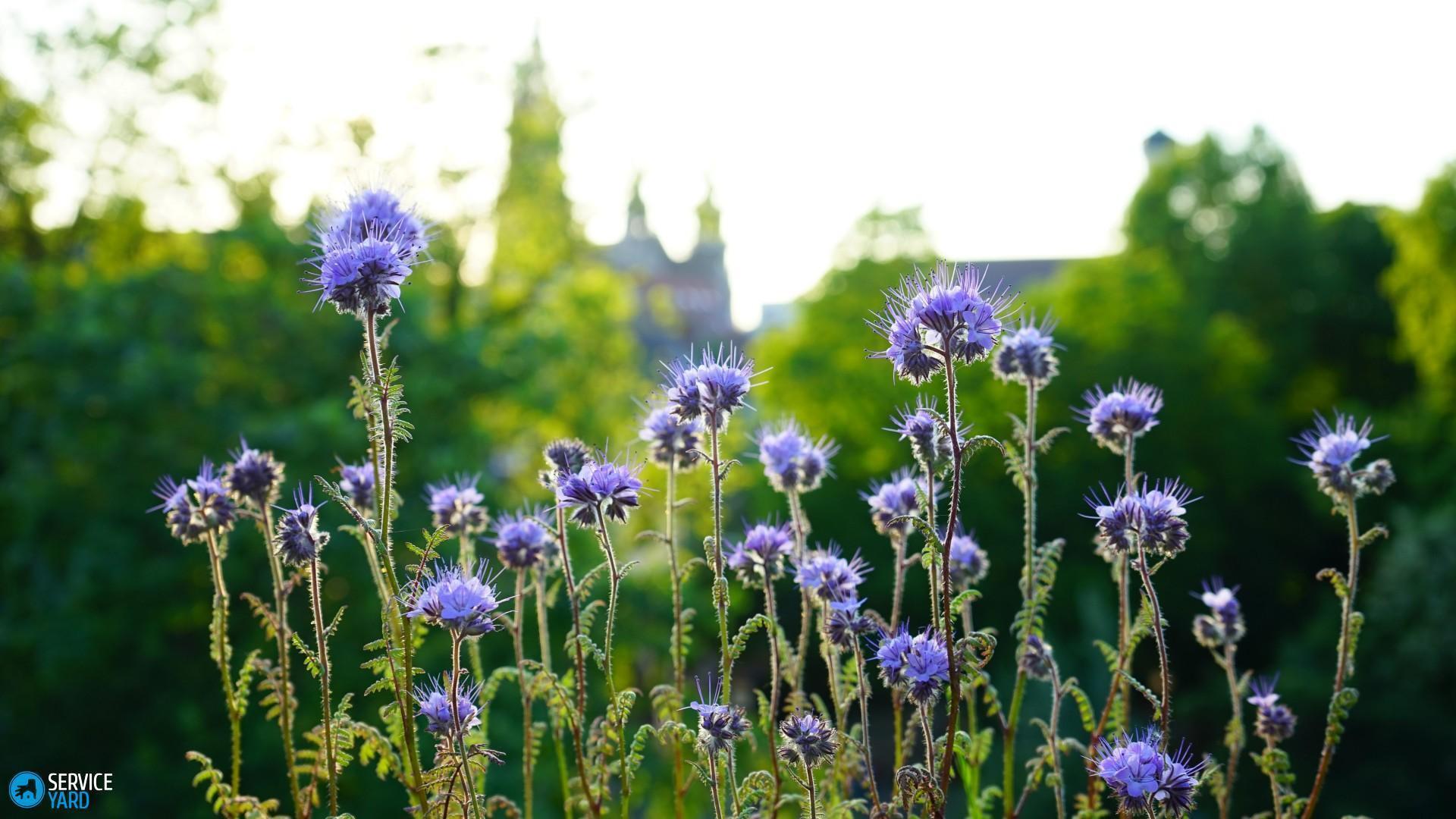 phacelia-blue-flowers-garden-sunlight-wallpaper-1920x1080