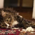 Как убрать запах мочи кота с ковра?