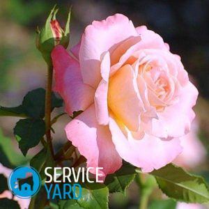 Как ухаживать за розами в горшке из магазина?